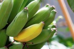 Banane reif auf Baum lizenzfreie stockbilder