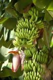 Banane sull'albero Immagine Stock