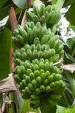 Banane sull'albero Immagini Stock