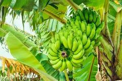 Banane sull'albero Fotografie Stock Libere da Diritti