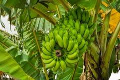 Banane sull'albero Immagine Stock Libera da Diritti