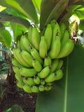 Banane sull'isola di jeju Fotografia Stock