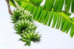 Banane sur l'arbre Photographie stock libre de droits