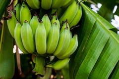 Banane sur l'arbre Image libre de droits