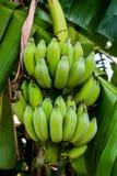 Banane sur l'arbre Photo libre de droits