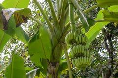 Banane sur l'arbre dans le jardin Image stock