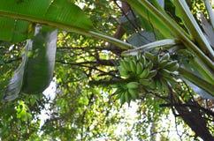 Banane sur l'arbre dans le jardin tropical Photos libres de droits