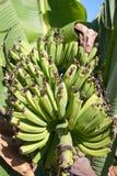 banane tropicali Fotografie Stock Libere da Diritti