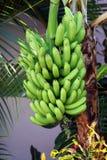 Banane tropicali che appendono sul TR Fotografia Stock Libera da Diritti