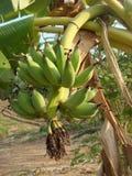 Banane trouvée en commun en Thaïlande Image libre de droits