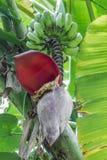 Banane und Bananenblüte Stockfotografie