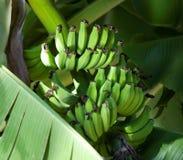 Banane verdi che maturano sull'albero Fotografie Stock Libere da Diritti