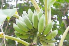 Banane verdi sull'albero Fotografia Stock