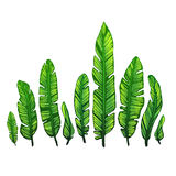 Banane verlässt auf einem weißen Hintergrund, tropische Palmblätter Botanische Illustration des Vektors, Gestaltungselemente Stockfotografie