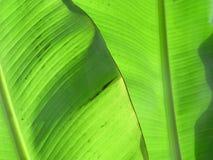 Banane verlässt III Stockbilder