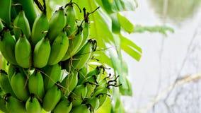 Banane verte photos libres de droits