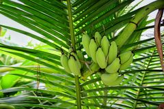 Banane verte Photo stock