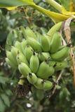 Banane verte Photo libre de droits