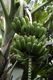 Banane verte Photographie stock