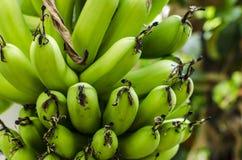 Banane verte sur l'arbre Photographie stock libre de droits