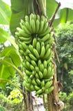 Banane verte sur un arbre dans la forêt. photo stock