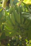 Bananen auf Baum stockfotos