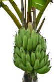 Bananen auf Baum Stockfotografie
