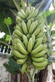 Bananen auf Baum sind nicht noch reif stockbild