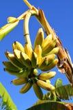 Bananen auf dem Baum Lizenzfreie Stockfotografie