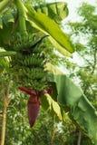 Bananen auf dem Baum Stockbilder