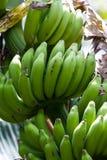 Bananen auf einer Anlage Stockbilder