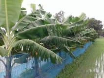 Bananen-Baum stockbilder