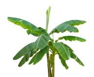 Bananen-Baum Stockfotografie