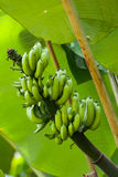 Bananen-Baum Lizenzfreie Stockfotografie