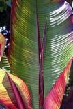 Bananen-Blätter lizenzfreie stockfotografie