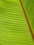 Bananen-Blatt Lizenzfreies Stockbild