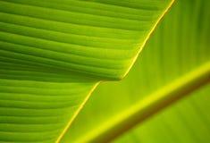 Bananen-Blatt stockfotografie