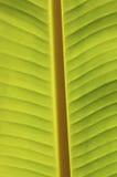 Bananen-Blatt Stockbilder