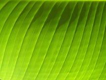 Bananen-Blatt-Adern Stockfoto