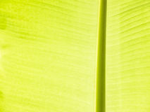 Bananen-Blatt-Detail Lizenzfreie Stockfotografie