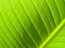 Bananen-Blatt-Detail mit winkliger Ader Stockbild