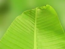 Bananen-Blatt-Unschärfe Stockbilder
