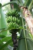 Bananen, die auf einem Baum wachsen Lizenzfreies Stockfoto