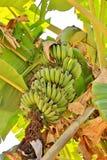 Bananen, die in de subtropische wildernis in de bergen van t groeien Royalty-vrije Stock Foto