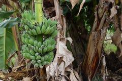 Bananen die niet van de Banaanboom zijn gesneden stock afbeeldingen