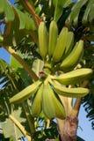 Bananen die op boom groeien Stock Fotografie