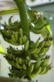 Bananen die op een boom groeien Royalty-vrije Stock Afbeeldingen