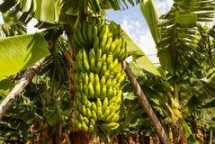 Bananen die, Puerto de la Cruz, Tenerife, Canarische Eilanden, SP groeien stock afbeelding