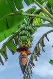 Bananen en banaanbloem op banaaninstallatie Royalty-vrije Stock Afbeeldingen
