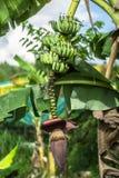Bananen en banaanbloem op banaaninstallatie stock foto's